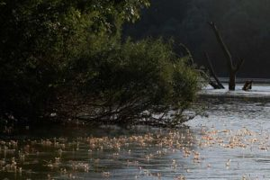 セルビアティサ川の開花とはカゲロウの孵化と産卵